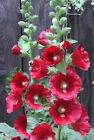 50 HOLLYHOCK COUNTRY ROMANCE MIX Alcea Rosea Flower Seeds + Gift