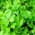 HERB LOVAGE 600 SEEDS levisticum officinale home growing herbs all year