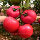 TOMATO - PINK KING - 300+ seeds up to 9 kg/20lb per indeterminate bush