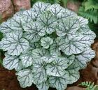 1200 MIXED COLORS CORAL BELLS HEUCHERA Shade Flower Seeds + Gift