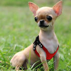10 135 Chest Red Suede Leather Small Dog Puppy Harness for Chihuahua Yorkie
