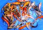 100 Lot Assorted 2 4 Live Koi Standard and Butterfly Fin Fish Mixed Lot PKF