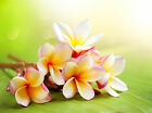 Plumeria Type Soap Candle Making Fragrance Oil 1 16 Ounce FREE SHIPPING