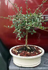 Fukien Tea bonsai Tree 6yrs old SMALL LEAF rare straight trunk