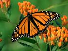 30 ORANGE BUTTERFLY MILKWEED Asclepias Flower Seeds Attracts Monarchs
