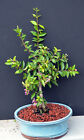 WEEPING CHERRY BONSAI TREE AND FREE SHIPPING FLOWERS WHITE REAL CHERRIES
