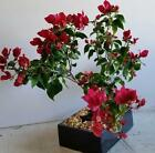 AMAZING BOUGAINVILLEA BONSAI TREE INDOOR BONSAI