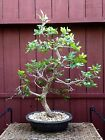 Winged Elm Bonsai Specimen Ulmus alata