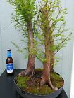PRE BONSAI BALD CYPRESS 3 Tree 713 planted in the pot last year