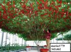 100 Seeds Of Life Tomato Giant Tree Seeds-Italian Tree Tomato Rare Heirloom!!