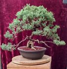 Shimpaku Juniper Bonsai Unique trunk great movement nice canopy