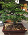 Black Olive bonsai tree in 8 or 10 inch bonsai pot