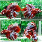 HMM340 Imported HM Marble Male Live Betta Fish AMAZING FISH