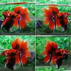 HMM344 Imported HM Fancy KOI Male Live Betta Fish