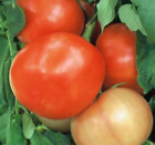 Mountain Spring Hybrid Tomato 200 Seeds By Jays Seeds, New, Free Shipping