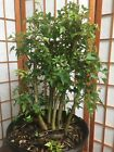 trident maple pre bonsai material group of 5treesold small leave