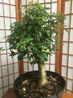 Trident maple pre bonsai material old small leave