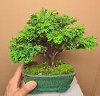 Dwarf False Cypress Chamaecyparis Tsukumo  Bonsai Tree 001 Free Shipping