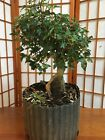 Root over rock trident maple pre bonsai material old small leave