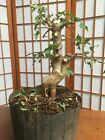 Trident maple pre bonsai material shohin old small leave