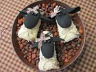 Primitive Handcrafted Grubby Sheep Ornies* Bowl Fillers* Country*  Set/3*