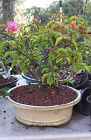 FLOWERING BOUGAINVILLEA BONSAI TREE WITH RED AND PINK FLOWERS