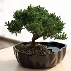 Junpier Bonsai Tree Little Garden Live Japanese Pot Indoor Decoration Desk
