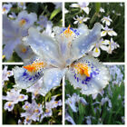 100 Japanese Iris Japonica Seed White Orchid Butterfly Flower Fringed Putchcock