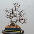 JAPANESE RED FLOWER CHOJUBAI BONSAI