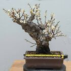 JAPANESE APRICOT PRUNUS MUME BONSAI TREE WHITE FLOWER 50 YRS