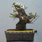 JAPANESE APRICOT PRUNUS MUME BONSAI TREE WHITE FLOWER 30 YRS