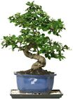 Bonsai Fukien Tea Bonsai Indoor Garden Flower Tree Plant Decorative Tray + Rocks