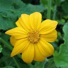Sunflower Mexican Yellow Tithonia Speciosa 25 Seeds BOGO 50 off SALE