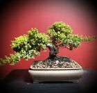 BONSAI TREE INFORMAL JUNIPER in IMPORTED FIRED CLAY POT