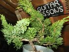 Shimpaku Juniper Bonsai Graceful Curving Trunk