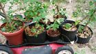 TRIDENT MAPLE 9 ROOTED CUTTINGS FOR BONSAI