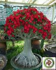 RARE Red Adenium Obesum Bonsai Desert Rose Plants Double Flowered