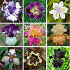 50 MIX IRIS SEED Heirloom Iris Tectorum Perennial Flower Seeds