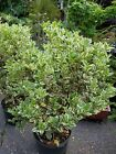 OSMANTHUS VARIGATED FALSE HOLLY 3 GALLON CONTAINER BONSAI