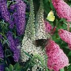 Butterfly Bush Mixed colors 50 Seeds  BOGO 50 off SALE