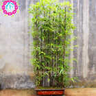 Bonsai Purple Bamboo Seeds Outdoor Potted Plants Bambusa Lako Tree Seeds 40+Pcs