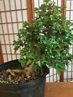 trident maple bonsai outdoor deciduou acer buergerianum thick trunk small leave