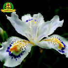 Iris Orchid Flowers Japanese Japonica Seed 100pcs Iris White Hot Rare 2018 Seed