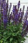 40 Blue Salvia Deer and Drought Resistant Sage Perennial Flower Seeds