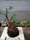 PODOCARPUS BONSAI STOCK
