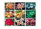 HOT ITEM MIXED 100Pcs Plumeria  Frangipani Hawaiian Lei Flower Seed