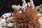Clown fish - Picasso Onyx pair - brilliant colors/patterns - WYSIWYG