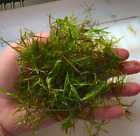 Guppy Grass 1 Full Cup  Easy Beginner Aquarium Plant Free Floating or Planted