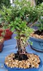 mount fuji Serissa bonsai tree Medium AERIAL ROOTS