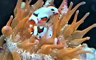 Clown fish and nem: Picasso Onyx extreme pair: brilliant colors/patterns WYSIWYG